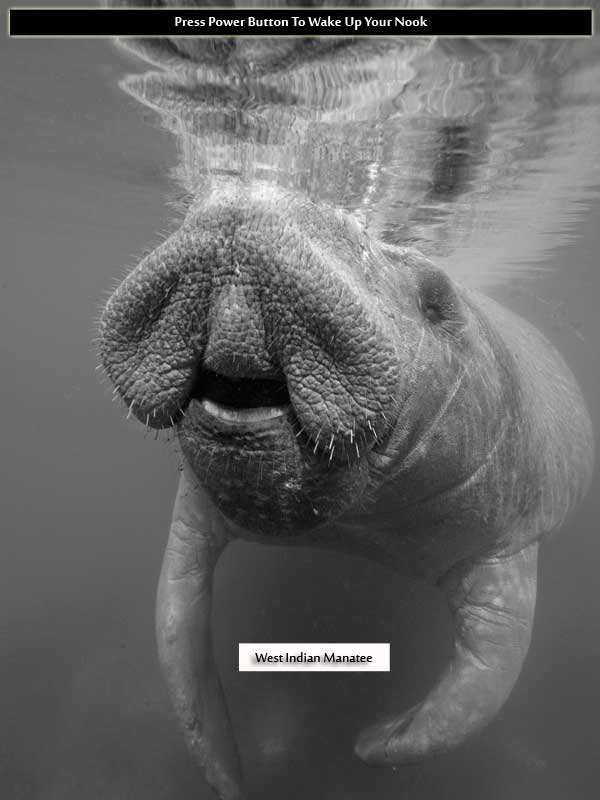 West Indian Manatee Nook Black-and-White